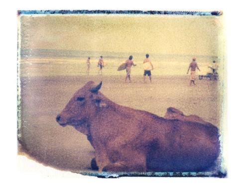 SURF-surf-cow-ecuador2