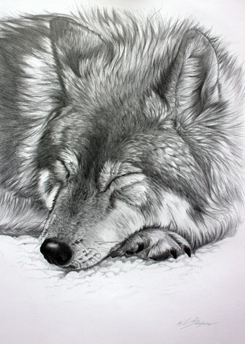 sleeping_wolf_4a648612332bb